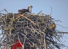 Weiblicher Osprey auf ihren Eiern--Chesapeake-Schacht lizenzfreie stockfotos