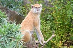 Weiblicher Patas-Affe, der auf einer Niederlassung sitzt Lizenzfreie Stockfotos