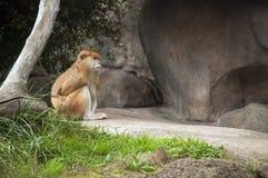 Weiblicher Patas-Affe, Waldpark-Zoo, Seattle, Washington Lizenzfreie Stockfotografie
