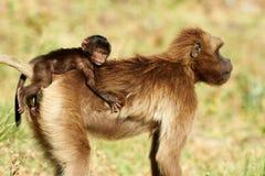 Weiblicher Pavian und Junges Gelada Stockfotografie