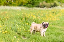 Weiblicher Pug am Park Stockfoto