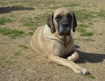 Weiblicher reinrassiger englischer Mastiff-Hund, der auf die Grundaußenseite im Sommer legt Stockfotos