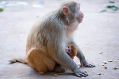 Weiblicher Rhesusfaktormakaken und ihr Baby mit Erdnüssen aus den Grund Stockbilder