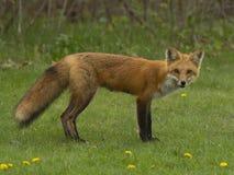 Weiblicher roter Fox stockfoto