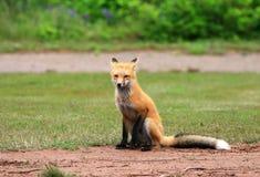Weiblicher roter Fox-Vixen, der in einer Gras-Wiese, Prinz Edward Island, Kanada aufwirft lizenzfreie stockfotos