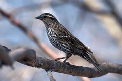 Weiblicher rotgeflügelter schwarzer Vogel Stockbilder