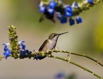 Weiblicher Rubin-throated Kolibri Stockfotos