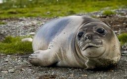 Weiblicher südlicher Seeelefant Lizenzfreies Stockfoto
