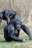 Schimpanse auf Gras Lizenzfreie Stockfotos