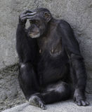 Weiblicher Schimpanse, der Gefühl zeigt Lizenzfreies Stockbild
