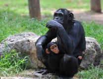 Weiblicher Schimpanse mit ihrem Schätzchen Lizenzfreies Stockfoto