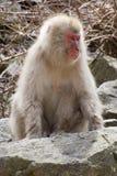 Weiblicher Schnee-Affe Stockfoto