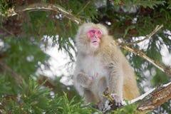 Weiblicher Schnee-Affe, der im Baum kaut Lizenzfreie Stockfotos