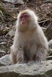 Weiblicher Schnee-Affe, der recht schaut Stockbild