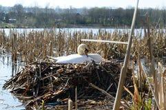 Weiblicher Schwan auf dem Nest Lizenzfreies Stockfoto