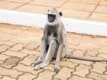 Weiblicher schwarz-gesichtiger Affe oder Langur albert in alter Stadt Anuradhapura, Sri Lanka herum Lizenzfreies Stockbild