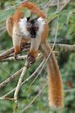 Weiblicher schwarzer Lemur Stockfotografie