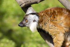 Weiblicher schwarzer Maki, Eulemur m macaco Stockfotos