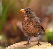 Weiblicher schwarzer Vogel lizenzfreies stockfoto
