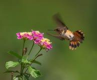 Weiblicher Scintillant Kolibri Stockbilder