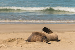 Weiblicher Seelöwe, der auf Strand stillsteht Stockfotos