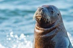 Weiblicher Seelöwe auf dem Strand Stockfoto