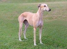 Weiblicher Spanisch Galgo-Hund lizenzfreies stockbild