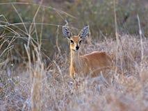 Weiblicher Steenbok Lizenzfreies Stockbild