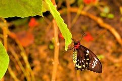 Weiblicher Steinhaufen Birdwing-Schmetterling auf Blatt Lizenzfreies Stockfoto