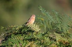Weiblicher stonechat Vogel auf Adlerfarn Stockbilder