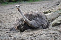 Weiblicher Strauß, der ein Sandbad hat Stockfoto