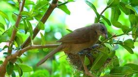 Weiblicher Streifen-ohriger Bulbulvogel, der sein Baby am Nest säubert stock video footage