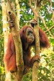Weiblicher Sumatran-Orang-Utan, der in einem Baum in Gunung Leuser national sitzt Lizenzfreie Stockbilder