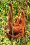 Weiblicher Sumatran-Orang-Utan mit einem Baby, das in den Bäumen, Gunu hängt Lizenzfreie Stockfotografie