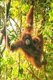 Weiblicher Sumatran-Orang-Utan mit einem Baby, das in den Bäumen, Gunu hängt Stockfotos
