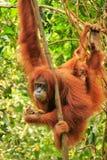 Weiblicher Sumatran-Orang-Utan mit einem Baby, das in den Bäumen, Gunu hängt Stockbilder