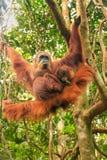 Weiblicher Sumatran-Orang-Utan mit einem Baby, das in den Bäumen, Gunu hängt Stockfoto