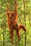 Weiblicher Sumatran-Orang-Utan mit einem Baby, das in den Bäumen, Gunu hängt Lizenzfreies Stockbild