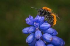 Weiblicher Tawny Mining Bee Stockbilder