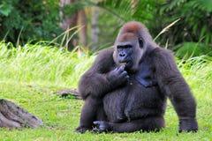 Weiblicher Tieflandgorilla Stockfoto