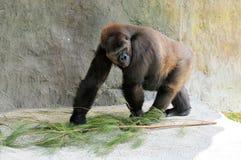 Weiblicher Tieflandgorilla im Zoo Stockbild