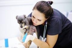 Weiblicher tierärztlicher Doktor während der Prüfung in der Veterinärklinik lizenzfreies stockbild