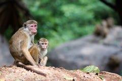 Weiblicher Toquemakakenaffe mit Baby im natürlichen Lebensraum in Sri Stockfotos