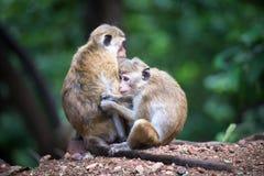 Weiblicher Toquemakakenaffe mit Baby im natürlichen Lebensraum in Sri Stockfoto