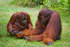 Weiblicher und männlicher Orang-Utan, der auf dem Gras sitzt indonesien Die Insel von Kalimantan Borneo Stockfotografie