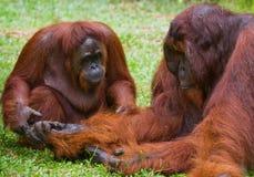 Weiblicher und männlicher Orang-Utan, der auf dem Gras sitzt indonesien Die Insel von Kalimantan Borneo Lizenzfreie Stockfotos