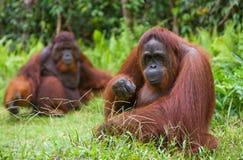 Weiblicher und männlicher Orang-Utan, der auf dem Gras sitzt indonesien Die Insel von Kalimantan Borneo Stockbild