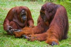 Weiblicher und männlicher Orang-Utan, der auf dem Gras sitzt indonesien Die Insel von Kalimantan Borneo Lizenzfreie Stockfotografie