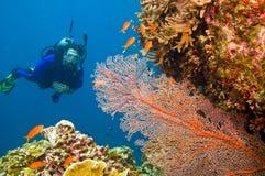 Weiblicher Unterwasseratemgerättaucher, der gorgonian Seegebläse ansieht Lizenzfreies Stockfoto