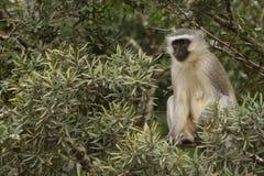 Weiblicher Vervet-Affe, der von einem Baum aufpasst stockfoto